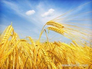 麦收在即陕西多地降雨 农业保险成农户保护伞